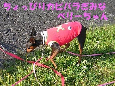 カピバラ大ベリーちゃん