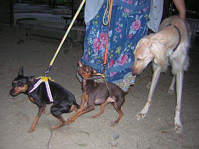 非協力な犬たち